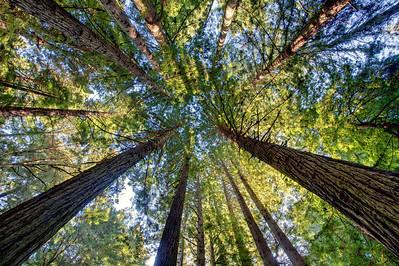 Karl Gohl - Early light hitting tops of redwoods  - Purisima Creek Redwoods OSP