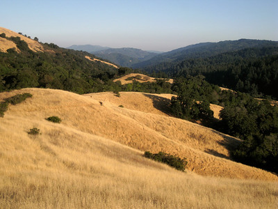 Maurice Hamilton - Oak Trees on Golden Hills  - Monte Bello OSP