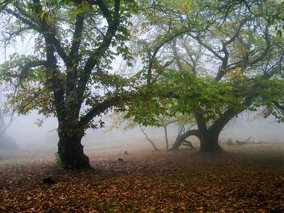 Maurice Hamilton - Chestnut Trees in Fog  - Skyline Ridge OSP