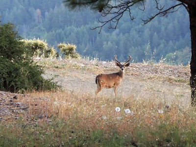A Dunham - Inquisitive buck - El Sereno OSP Category: Wildlife