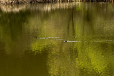 A Stephenson - Reflection - Horeshoe Lake - Skyline Ridge OSP Category: Wildlife