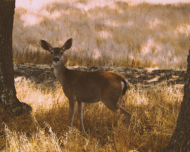 B Hsu - Deer looking at me - Rancho San Antionio OSP Category: Wildlife