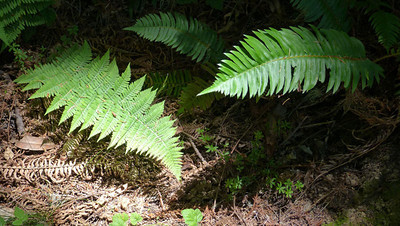 A Aldrich - Wood fern and sword fern along the Purisima Creek Trail - Purisima Creek OSP Category: Plant Life