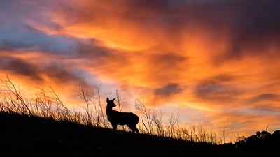 Deer in red sky