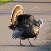 Wild Turkey Mating Dance