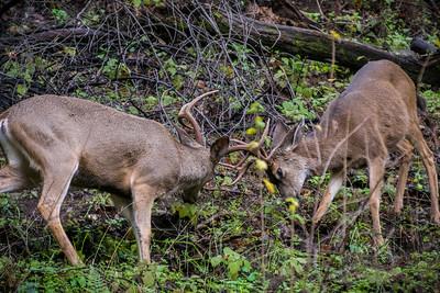 Two male deer having a friendly fight