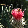 Buzzing to Venus (Thistle)