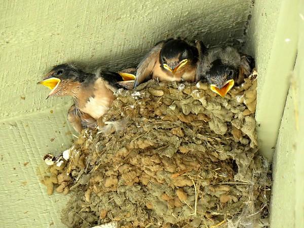 Hungry Barn Swallows