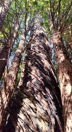 Old Growth Twisted Redwood