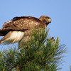 The Regal Redtail