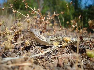 Up Close and Personal - Gopher Snake