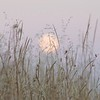 Moon lit grasses