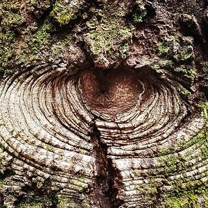 Tan Oak Looking