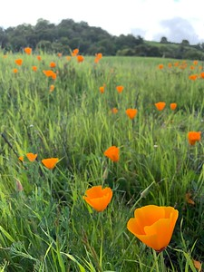 Iconic Poppies