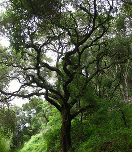 Oak on Rouge Valley Trail  Rancho San Antonio OSP  6/5/2009