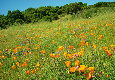 Wildflowers at Rancho de Guadalupe Sierra Azul OSP
