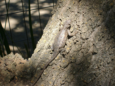 Lizard Garden Deer Hollow Farm, Rancho San Antonio OSP  Lizard in the Phoebe Garden chillin and blendin against tree.