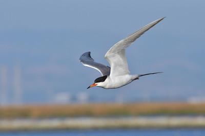 Steve Abbors - Forster\'s Tern - Grace on the wing  - Stevens Creek Shoreline Regional Nature Study Area