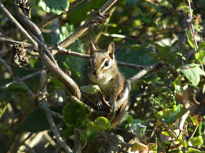 Steve Abbors - Merriam\'s Chipmunk - trailside denizen - PG&E   - Rancho San Antonio OSP -  PG&E Trail