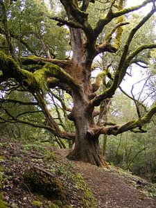 Teresa Gibson - Dramatic Tree  - Los Trancos OSP