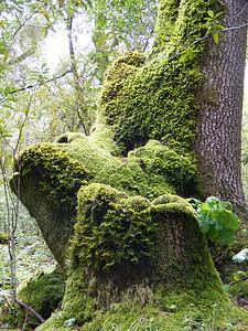 Teresa Gibson - Mossy Trees  - Los Trancos OSP