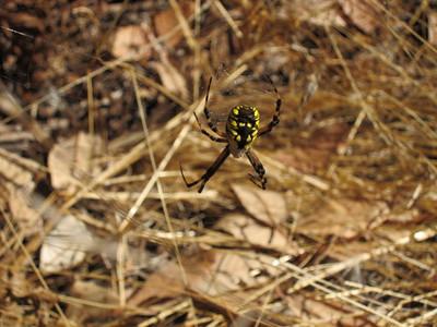 Janine Bird - Yellow Argiope  - Purisima Creek Redwoods OSP