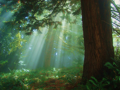 Third Place: Amanda Mills - Rays of Light - Purisima Creek Redwoods OSP