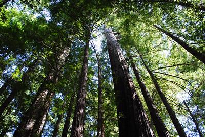 Allen Ishibashi - Big Trees - El Corte de Madera Creek OSP