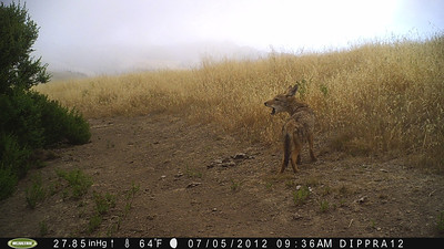 Honorable Mention: Cindy Roessler - Howling Coyote Pup - Skyline Ridge OSP