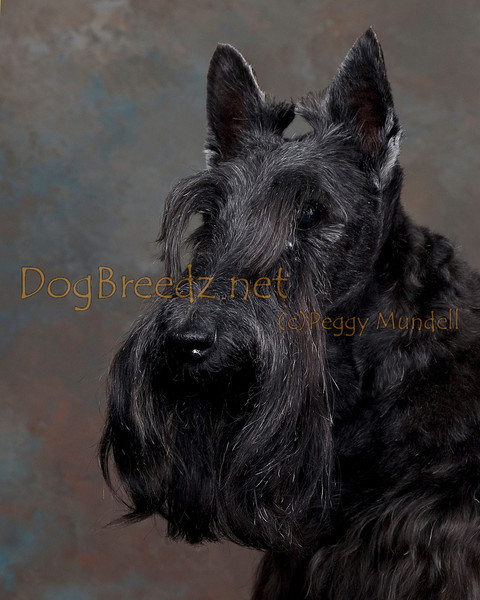 Jennifer Maniscalco - Scottish Terrier