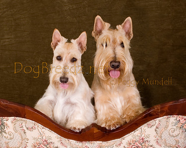 LaBonte Scottish Terriers