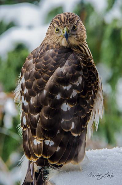 Hawk at Our Window