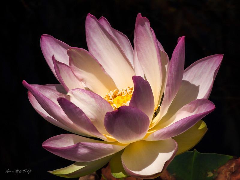 Lotus  6/22/2007