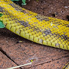Yellow Rat Snake On The Prowl