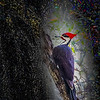 Pileated Woodpecker, Florida Forest