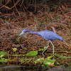 Little Blue Heron, Felt's Preserve