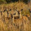 Pere David's Deer Herd
