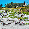 Colony of Black Skimmers, Lido Beach, Florida