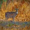 Spotted Deer, Okeechobee, Florida