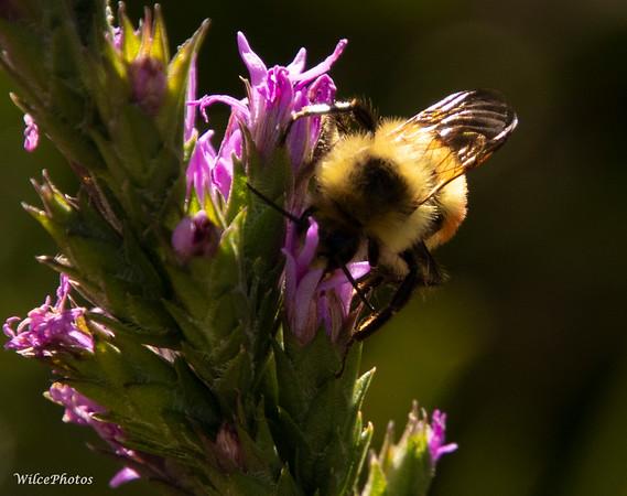 Tricolored Bumblebee (Photo #8543)