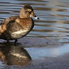 Female Ring Necked Duck (Photo #1568)