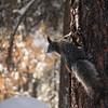 Snowy Abert's Squirrel (Photo #9052)