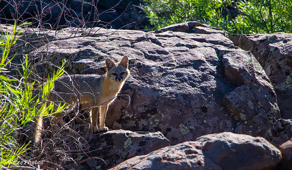 Gray Fox; Cheshire Park; (Photo #7361)