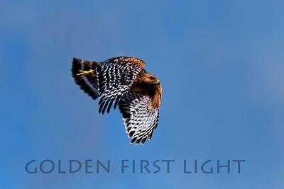 Red-shouldered Hawk, Moss Landing