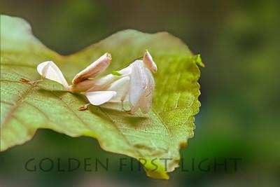 Blossom Praying Mantis, Kaeng Krachan National Park Thailand