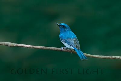 Hainan Blue-Flycatcher, Thailand