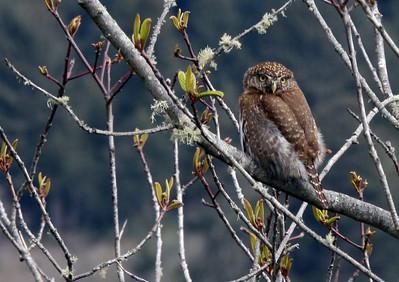 Who II Owl