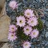 Echinopsis Hybrid