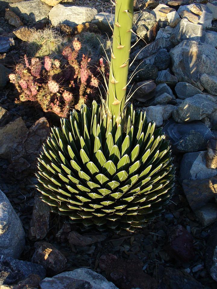 Agave - showing base of flower stalk -