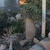 Multiheaded Pachypodium Namaquanum -